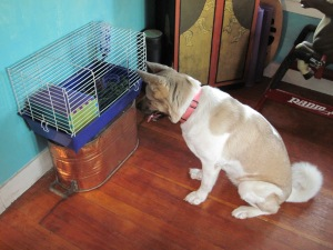 Kazumi examines a new rabbit in the travel cage.