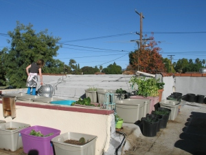 The most recent iteration of the roof garden with new tubs.