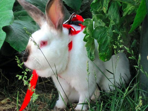 Big Bunny foraging on leash