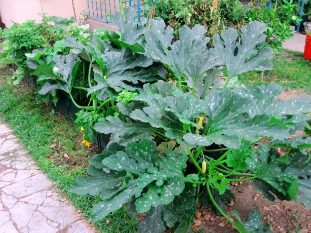 Less than stealthy zucchini growing in the front yard